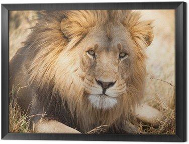 Obraz w Ramie Duży lew w Zambii, w Afryce