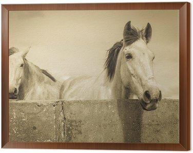 Obraz w Ramie Dwa białe konie