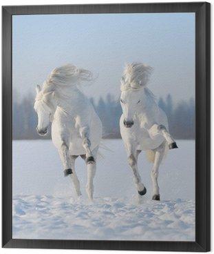 Obraz w Ramie Dwa galopujący śnieżnobiałe konie