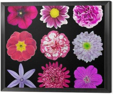 Obraz w Ramie Dziewięć różnych różowy, fioletowy, Czerwone kwiaty samodzielnie na czarny