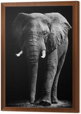 Obraz w Ramie Elephant samodzielnie na czarnym tle