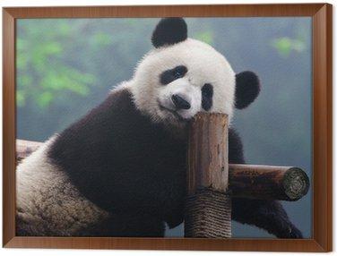Obraz w Ramie Giant Panda Bear patrząc na kamery