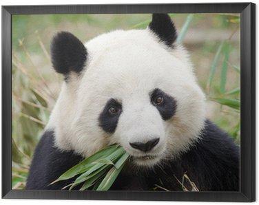 Obraz w Ramie Giant Panda jedzenie bambusa, Chengdu, Chiny