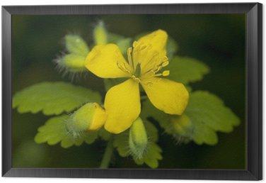 Obraz w Ramie Glistnik jaskółcze ziele Chelidonium majus