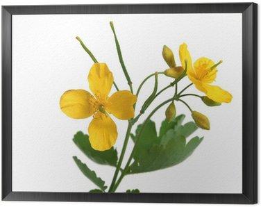 Obraz w Ramie Glistnik jaskółcze ziele z kwiatami ponad biały