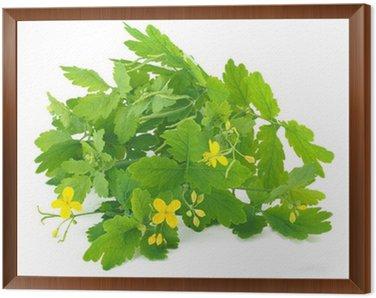 Obraz w Ramie Glistnik roślin samodzielnie na białym tle