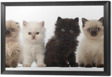Obraz w Ramie Grupa brytyjski krótkowłosy i brytyjskich kociąt długowłose