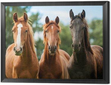 Obraz w Ramie Grupa trzech młodych koni na pastwisku