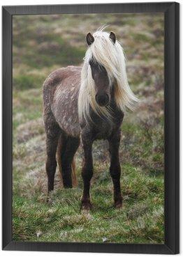 Obraz w Ramie Islandia koń