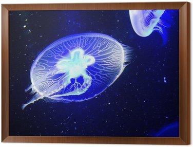 Obraz w Ramie Jellyfish pod blacklight