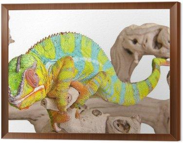 Obraz w Ramie Kolorowe kameleon