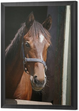 Obraz w Ramie Koń czystej krwi miła w jego stajni oglądania