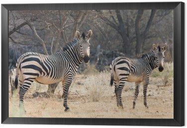Obraz w Ramie Krowa i Kitten - Hartmann Mountain Zebra