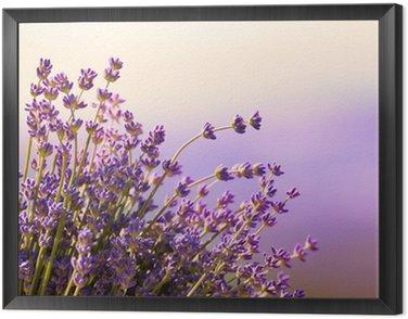 Obraz w Ramie Kwitną kwiaty lawendy czas letni