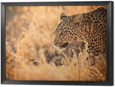 Obraz w Ramie Leopard Zwiedzanie o zachodzie słońca