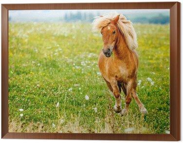 Obraz w Ramie Mały kucyk koń (Equus caballus ferus)