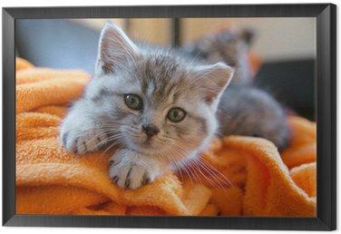 Obraz w Ramie Mały szary kot leżący na pomarańczowym kocem na kanapie