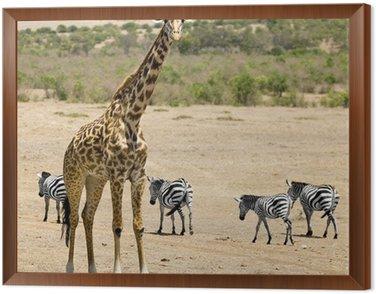 Masai żyrafa