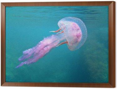 Obraz w Ramie Mediterranean meduzy w pobliżu powierzchni