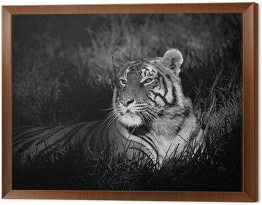 Monochromatyczny obraz Tygrys bengalski