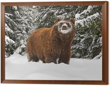 Obraz w Ramie Niedźwiedź brunatny