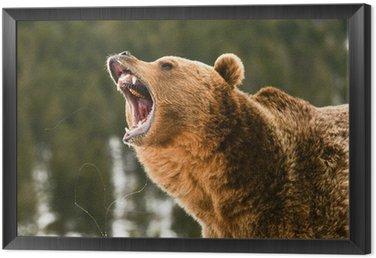 Obraz w Ramie Niedźwiedź grizzly