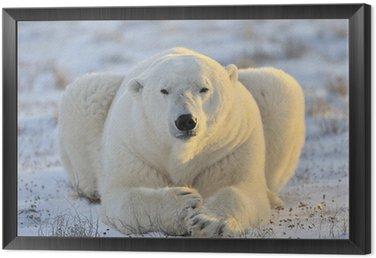 Obraz w Ramie Niedźwiedź polarny leżącego w tundrze.