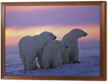 Obraz w Ramie Niedźwiedź polarny z jej młodych w kanadyjskiej Arktyki zachodzie słońca
