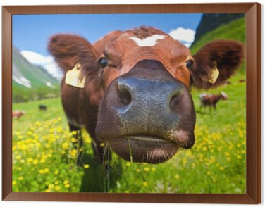 Norweski krowy
