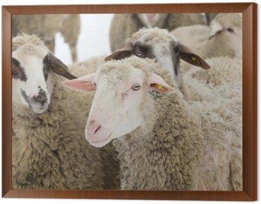 Obraz w Ramie Owca