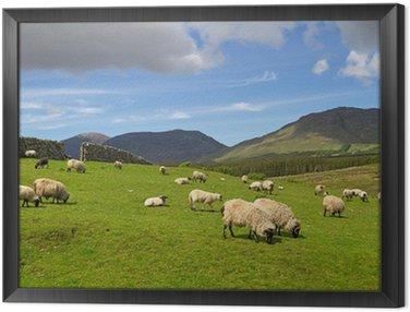 Obraz w Ramie Owiec i baranów w górach Connemara - Irlandia