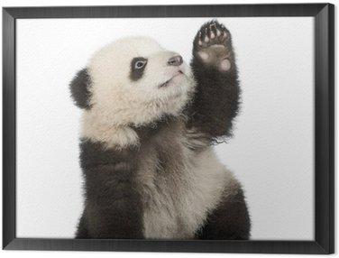 Obraz w Ramie Panda (6 miesięcy) - ailuropoda melanoleuca