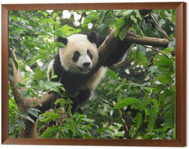 Obraz w Ramie Panda wspinaczki drzewo
