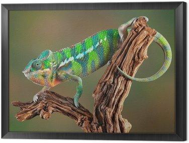 Obraz w Ramie Panther Chameleon