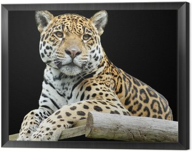 Obraz w Ramie Piękne Tygrys Samodzielnie na czarnym tle