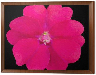 Obraz w Ramie Pink pierwiosnka jak kwiat na pojedyncze czarne