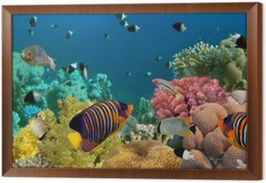 Obraz w Ramie Podwodne panoramy z angel ryby, rafa koralowa i ryby. czerwony