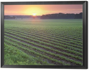 Obraz w Ramie Pole soi o wschodzie słońca