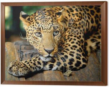 Obraz w Ramie Portret leopard
