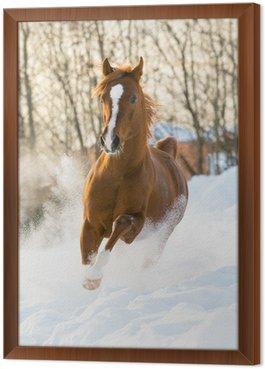 Obraz w Ramie Red arabian stallion uruchamia galop w śniegu