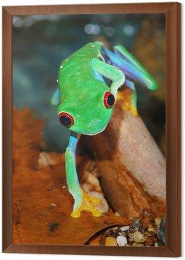 Obraz w Ramie Red-eye frog siedzi w terrarium