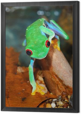 Red-eye frog siedzi w terrarium