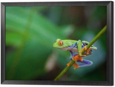 Obraz w Ramie Red eye frog