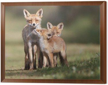 Obraz w Ramie Red fox rodzina