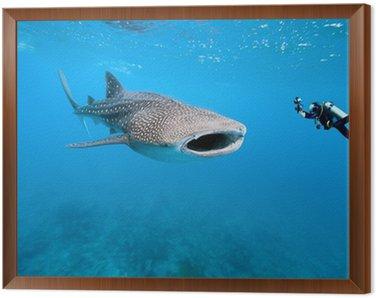 Obraz w Ramie Rekin wielorybi i podwodnego fotografa