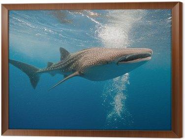 Obraz w Ramie Rekin wielorybi