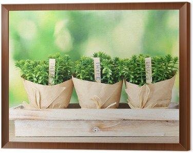 Obraz w Ramie Rośliny ziele tymianku w doniczkach z pięknym wystrojem papieru