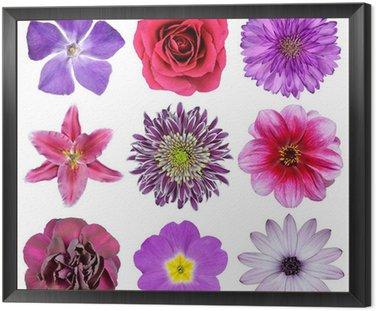 Obraz w Ramie Różne różowe, fioletowe, czerwone kwiaty na białym