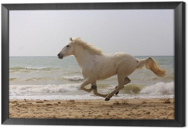 Obraz w Ramie Schimmel galopujący na plaży
