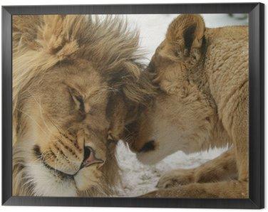 Obraz w Ramie Sekret miłości. lew i lionness (Panthera leo)
